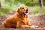 Amankah Memberikan Nasi pada Anjing Golden?