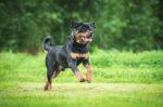 Tips Memilih Makanan yang Tepat untuk Anjing Rottweiler