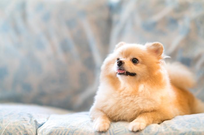 Jenis Makanan yang Cocok untuk Anjing Mini Pom