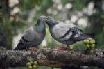 Ketahui Ciri-Ciri Burung Merpati yang Sehat