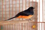 Pertimbangkan Hal Ini sebelum Pelihara Burung Murai