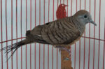 Inilah Keunikan dan Karakteristik Burung Perkutut Jawa
