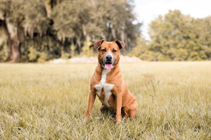 Cara Melatih Anjing Pitbull Agresif Menjadi Jinak