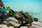 Asupan Makanan untuk Iguana Supaya Cepat Besar