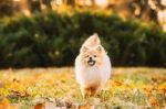 Cara Merawat Anjing Mini Pom Kecil dan Dewasa untuk Pemula