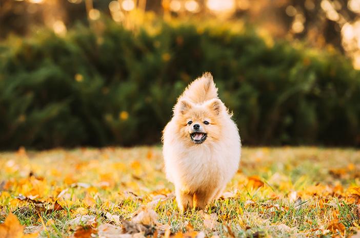 Merawat Anjing Mini Pom Kecil dan Dewasa untuk Pemula