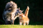 Cara Merawat Kucing Persia Berdasarkan Jenisnya