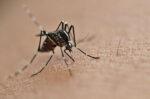 Tekan DBD, Peneliti Uji Bakteri Wolbachia pada Nyamuk