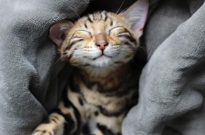 Penuhi Nutrisi Kucing Bengal untuk Pertumbuhannya