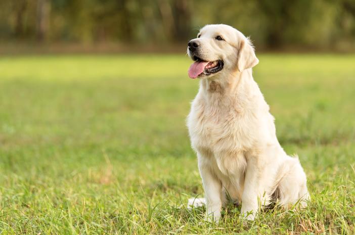 Ketahui Perawatan yang Tepat untuk Bulu Anjing Golden