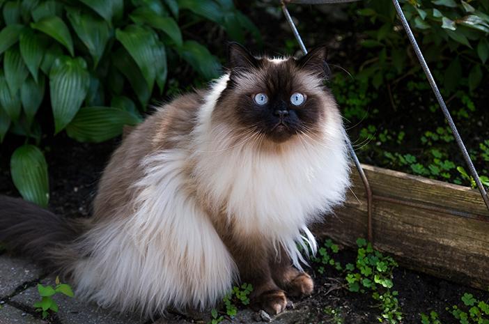 Bagaimana Cara Mengenali Kucing Himalaya yang Sedang Sakit?