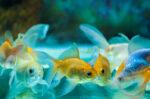 Benarkah Mengganti Air Akuarium Berisiko Sebabkan Ikan Hias Cepat Mati?