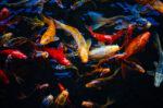 7 Penyakit yang Rentan Dialami oleh Ikan Koi