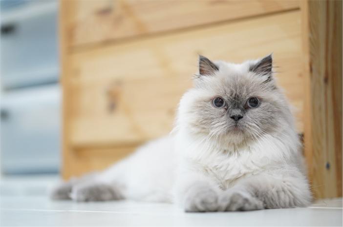 Ini Perbedaan Antara Kucing Himalaya dan Ragdoll