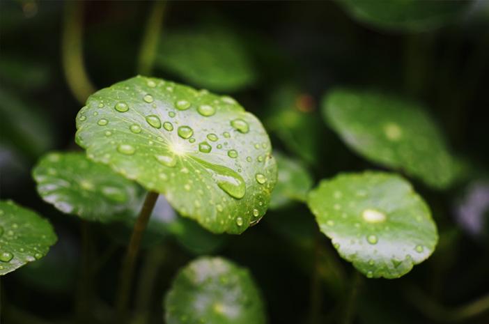 4 Manfaat Centella Asiatica yang Dijadikan sebagai Skincare