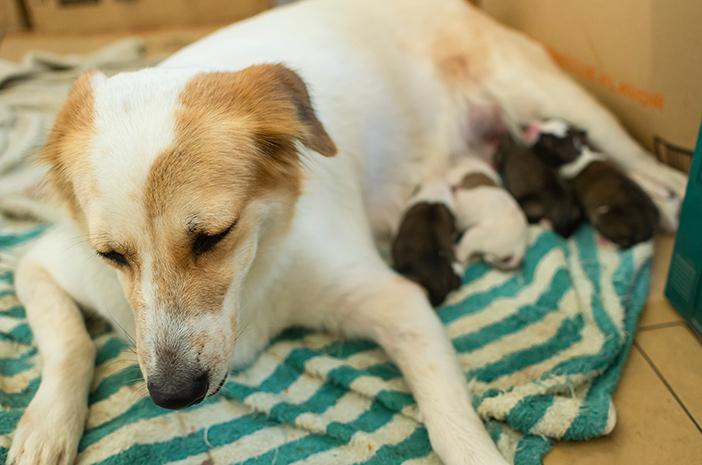 6 Ciri-Ciri Anjing Hamil dan Ingin Melahirkan
