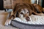 Ini 4 Jenis Anjing yang Memiliki Umur Panjang
