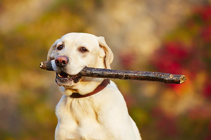 Begini Cara Melatih Anjing Labrador Retriever yang Bisa Dilakukan