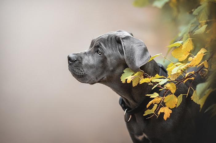 4 Fakta Unik Mengenai Anjing Cane Corso
