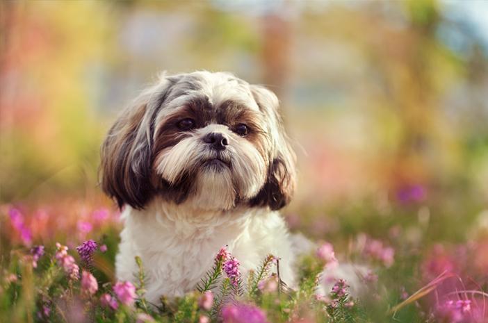 Begini Cara Tepat Merawat Anjing Shih Tzu