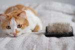 7 Cara Ampuh Mengatasi Bulu Kucing Rontok