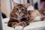5 Fakta Unik Mengenai Kucing Maine Coon