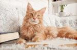4 cara merawat bulu kucing maine coon agar tidak rontok halodoc