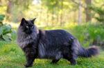 fakta-menarik-mengenai-norwegian-forest-cat-halodoc