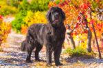 Mengenal Lebih Dekat dengan Anjing Newfoundland